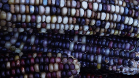 indian-corn2