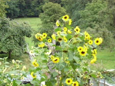 jb-sunflowers